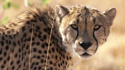Cheetahs in Krugga Kamma game park