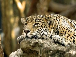 leopard-africa-backgrounds