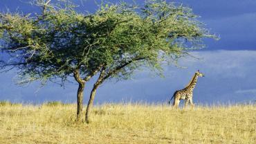 Giraffe in Krugga Kamma game park