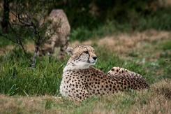 Cheetah at Seaview