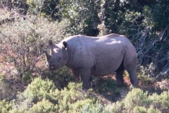 Rhino at Addo