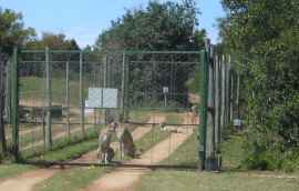 cheetah at Kragga Kamma Chess Group