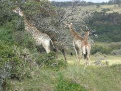 Giraffe Kragga Kamma Oct 2013